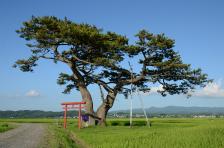 ⑪島岡祐輔「飯詰のクロマツ」(景色)