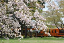 ⑩島岡祐輔「八重桜とメロス」(景色)