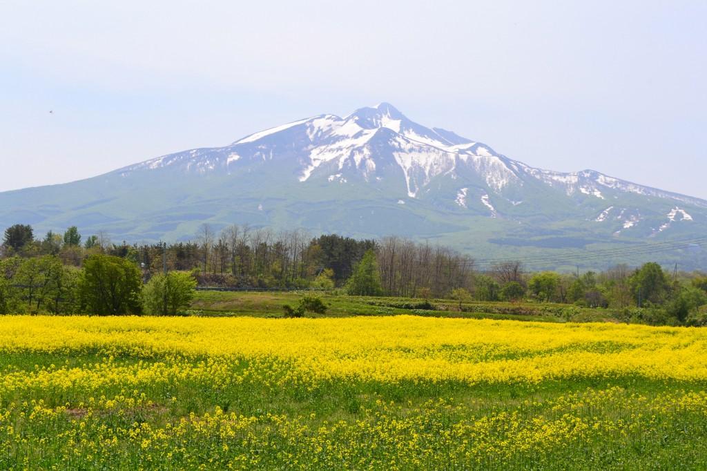 ㉛菜の花と「岩木山」佐藤 敬