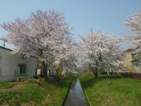 ⑲2014/4/26時点の桜前線 西澤 淳20