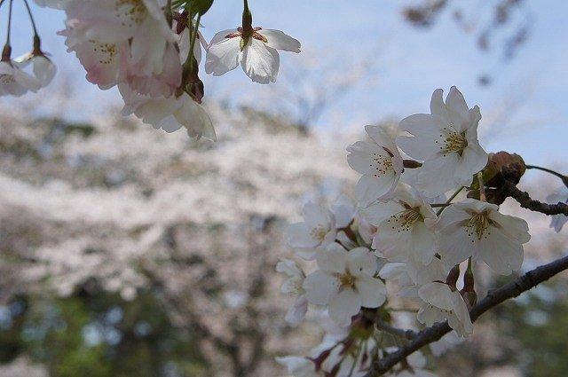 2015.0422芦野公園 (4)