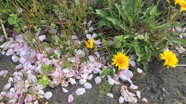たんぽぽと桜の花びら